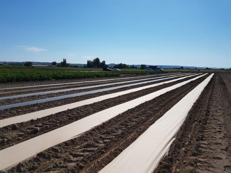 Lee más sobre el artículo Acolchado de papel para agricultura, una alternativa sostenible al plástico