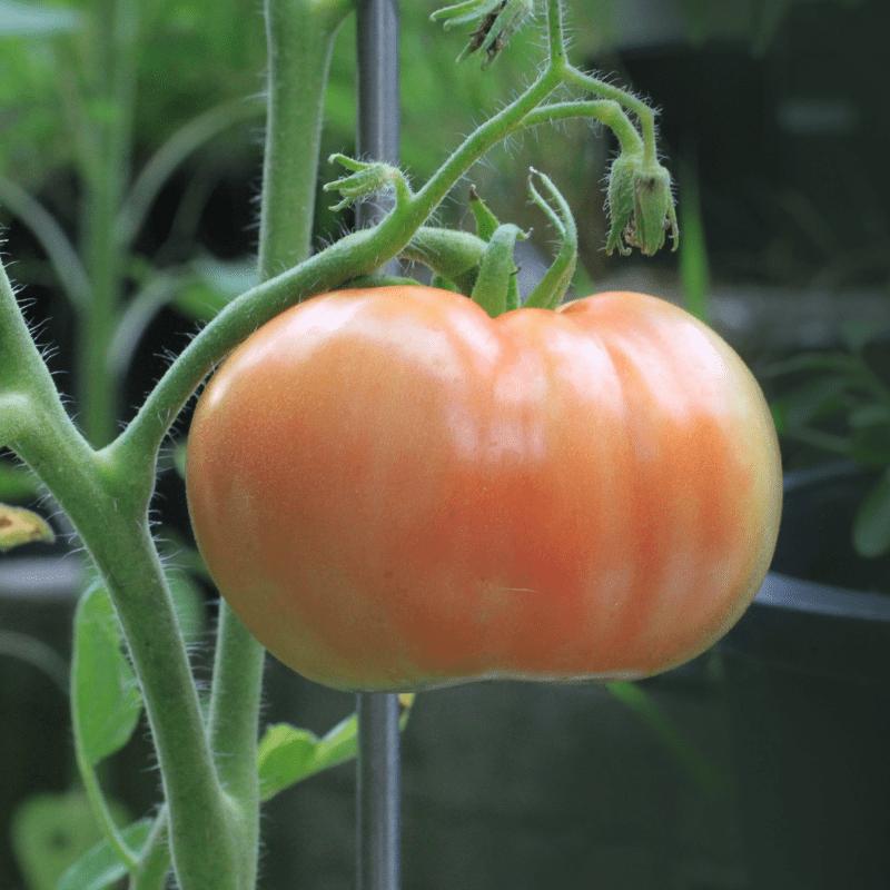 Lee más sobre el artículo Biodiversidad para el cultivo de tomate